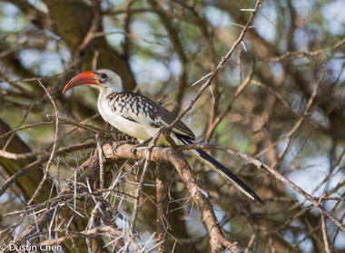 red billed hornbill 非洲大嘴鸟